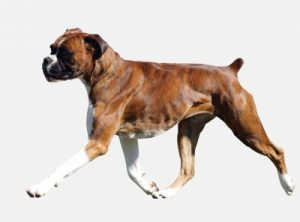 Boxer a midium-sized, stocky, short-haired dog: strong yet calm