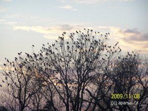 Crows create a phenomenal scene